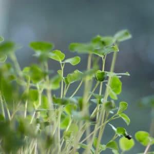 microgreens micro ortaggi